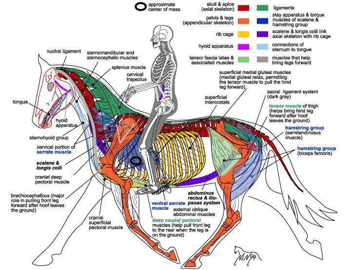 A great equine physiology reference picture